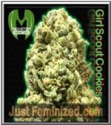 We Sell Original Monster Genetics Girl Scout Cookies Cannabis Seeds